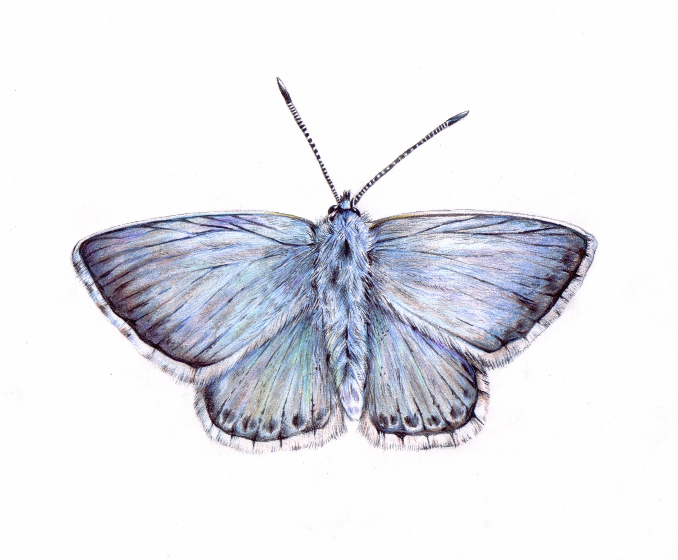 Chalkhill Blue Butterfly Illustration